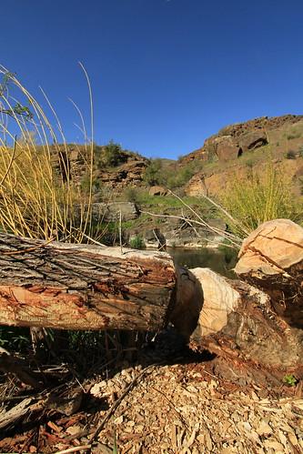 Beaver Log