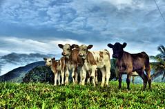 Mis Vacas (Jose Maria Ramirez G) Tags: foto paisaje ganado gran animales vacas 1001 antioquia estampa campesina nigths