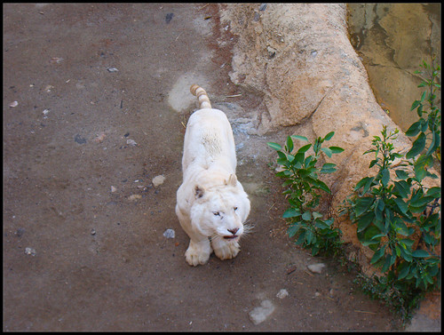Tigre Blanco en Tabernas