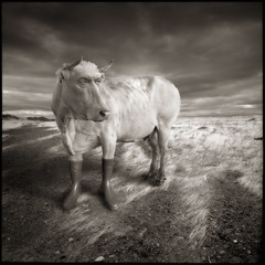 Darwin's theory (yves.lecoq) Tags: boot cow vache buffon