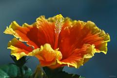 Happy Mother's Day! (-clicking-) Tags: lighting light red sunlight flower macro nature floral beautiful sunshine yellow closeup contrast garden petals spring flora dof natural blossom bokeh vibrant vivid stamens bloom lovely springtime blooming vibrance hibicus bungaraya springgarden floralart happymothersday pistils vividcolours artflowers sembaruthi colorphotoaward hoadâmbụt ngàycủamẹ mamdaram vietnameseflowers