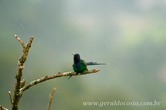Beija flor ( tomando banho) (J.Geraldo Costa) Tags: brazil minasgerais nature brasil minas natureza chuva passarinho aves beleza beijaflor passaro geraldocosta