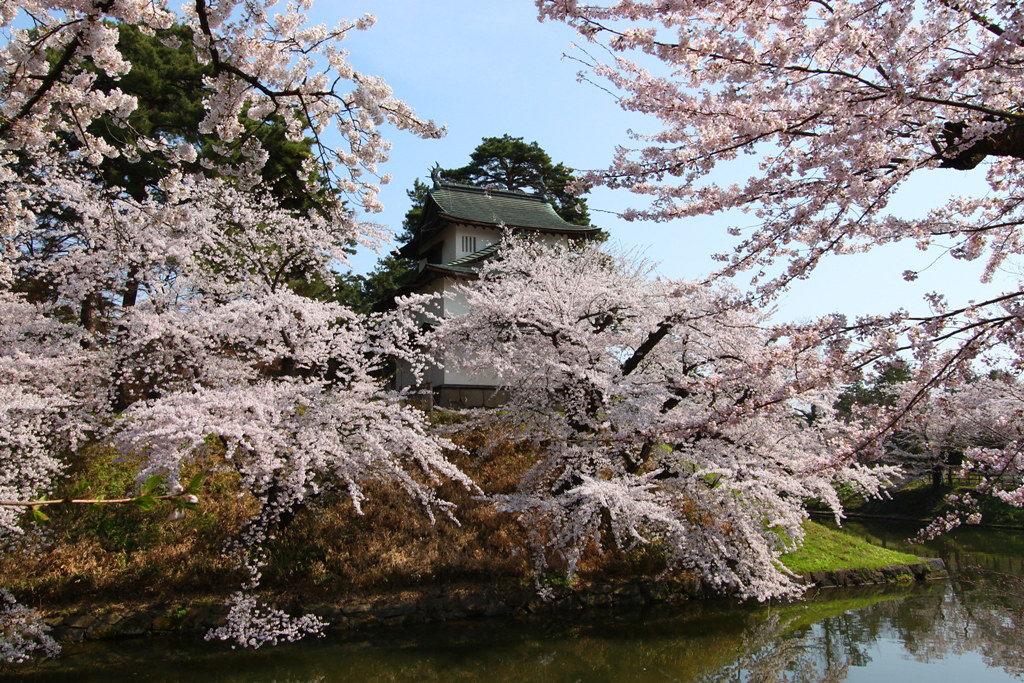 Hirosaki Park Sakura (5)
