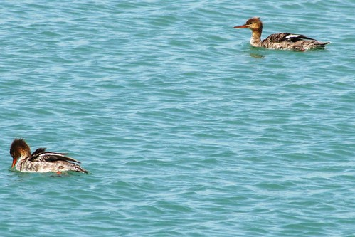 IMG_2359_Red_Breasted_Merganser