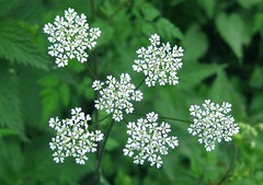 Queen Anne's Lace (wonky knee) Tags: uk shropshire shrewsbury roadside wildflower queenanneslace hedgerow anthriscussylvestris wistanstow