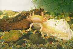 Goldy the axolotl by cosmicwheel, on Flickr