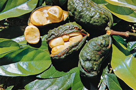Kola_Cola nuts picture