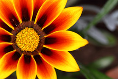 Orange Gazania (...Swag Astro (www.swagastro.weebly.com)) Tags: flowers plants plant blur flower color petals flora colours creative pollen shallowdepthoffield creativeblur sarawager