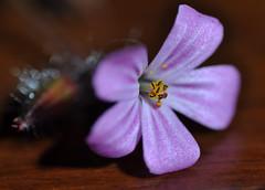 Wild flower from the roadside (Cherry Harrison) Tags: wood flower macro nature still object flash petal unusual closeups