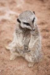 2011-06-05-13h57m23.272P3678 (A.J. Haverkamp) Tags: amsterdam zoo meerkat thenetherlands artis stokstaartje dierentuin canonef70200mmf28lisusmlens httpwwwartisnl
