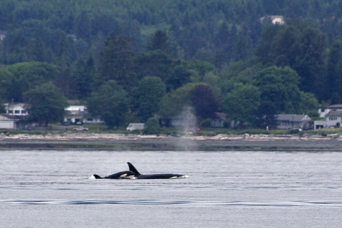 transient orcas bucking the tide