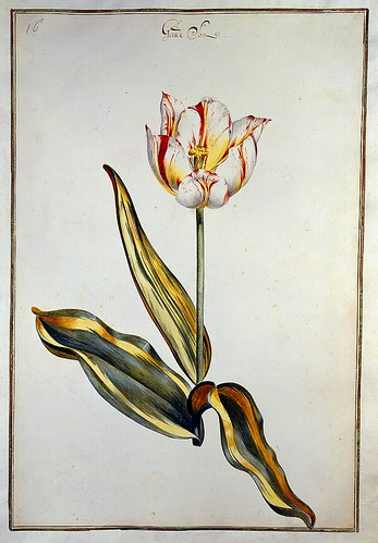 011-tulipan 11-Karlsruher Tulpenbuch - Cod. KS Nische C 13- Badische LandesBibliotheK