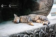 Il gatto dormiente al Buddha sdraiato (*Emilio Giordano) Tags: nature animal cat sleep natura thai gatto thailandia dormire animale emiliogiordano