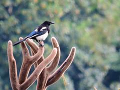 Hitching a ride (PhotoLoonie) Tags: antlers magpie britishwildlife wildlife wildanimal ukwildlife britishwildanimal wildbird gardenbird bird ukgardenbird britishbird ukbird carrion deer reddeer