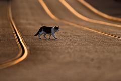'Cat On Track' (Jonathan Casey) Tags: cat tram tramlines nottingham d810 nikon 400mm f28 vr sunset