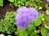 Flowers (PL) - Żeniszek (transport131) Tags: kwiat flower ogród garden żeniszek ageratum