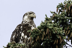 Juvenile bald eagle in a tree. (Alan Vernon.) Tags: immature juvenil bald eagle baldeagle haliaeetus perched tree raptor bird avian nature wild wildlife birding birdwatching