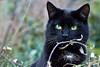 Micio Nero (giobra56) Tags: cat italy gattonero micio gatto