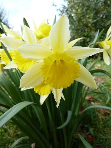 Narcissus  at Greenbank Garden
