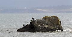 Shags (Tobias Hayashi Photography) Tags: sea lighthouse bird rock australia stormy maritime tasmania cormorant shags mariaisland blackfacedcormorant phalacrocoraxfuscescens
