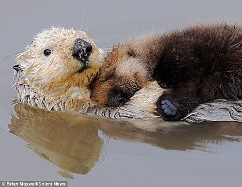 white sea otter floating on her back in still water with a brown pup cuddling up on her chest