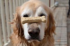 Jimbu (bhai81) Tags: dog goldenretriever 35mm concentration nikon f18 milkbone concentrate d7000