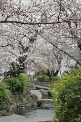 桜のある川辺