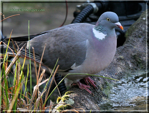 Pond Visitor - Wood Pigeon