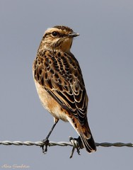 Cartaxo-nortenho | Whinchat (Saxicola rubetra) (Rosa Gamboias/ on vacation) Tags: naturaleza portugal nature birds animals fauna wildlife natureza birding pssaro natura aves cu uccelli pjaros ave animais ornithology birdwatching pssaros oiseau vogel oiseaux avifauna passeriformes vidaselvagem whinchat passerines saxicolarubetra ornitologia pontadaerva cartaxonortenho rosagambias
