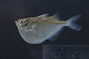 Cuyuni fish