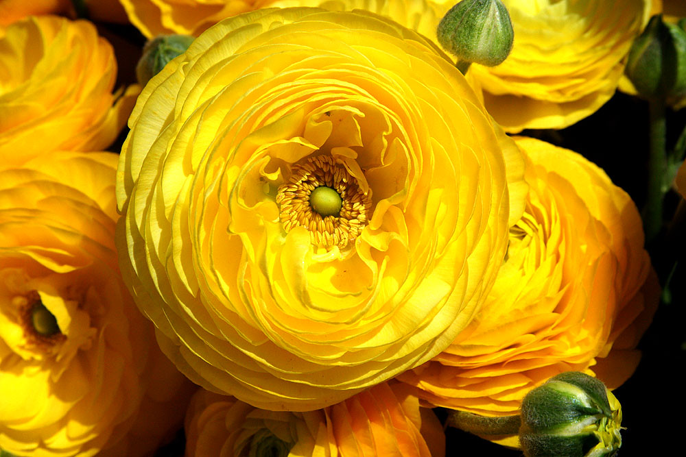 Giant Tecolote Ranunculus at the