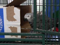 "Bonnie says, ""This is MY box, back off""! (RLBrinkman~in and out-mostly out) Tags: birds grey cage aviary macaw pars parrots cag congoafricangrey"