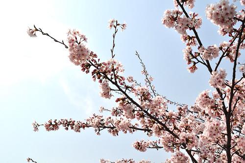 桜 20110411