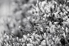 Fly on Moss (ShinyPhotoScotland) Tags: blackandwhite nature closeup scotland moss flora pattern dof bokeh argyll places gb dxo minimalist stacked taynuilt inverawe genrearty