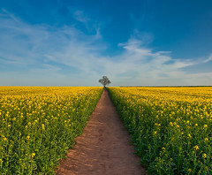 At the End of Paths Taken (Gordon Mould) Tags: uk blue england sky cloud tree yellow clouds square lens geotagged vanishingpoint nikon leicestershire path walk kitlens rape kit hdr pathway loughborough lightroom rapeseed 18105 oilseedrape d90 brassicanapus tonemapped 18105mm superaplus aplusphoto nikond90