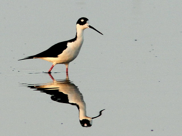 Black-necked Stilt 2-20110412