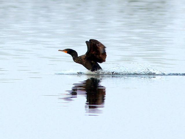Cormorant splashdown 20110412