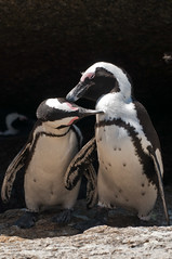 Penguin Love (Eefje74) Tags: africa game bird beach nature animal landscape southafrica penguin bush wildlife capetown cape afrika animales peninsula simonstown westerncape bouldersbeach capepeninsula kaapstad sudafrica zuidafrika westcape westkaap