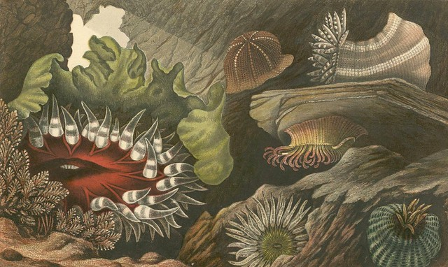 19th century lithography of sea creatures
