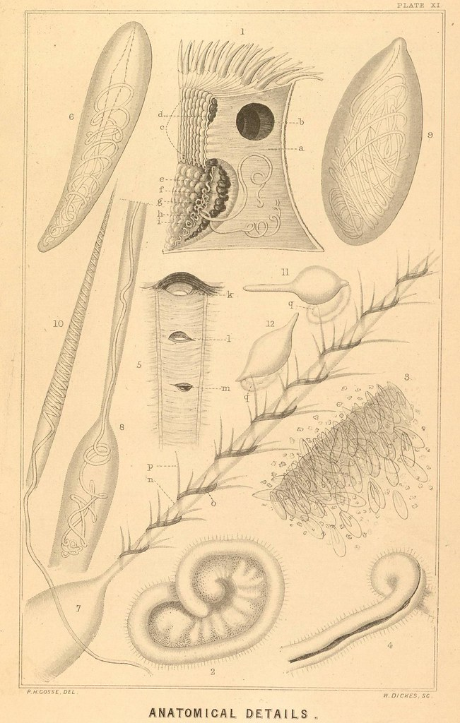 illustrations of actiniaria
