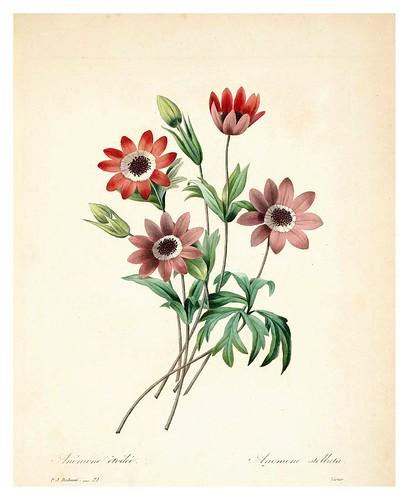 006-Anemona estrellada-Choix des plus belles fleurs…1827- P.J.Redoute