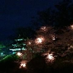 高田城の桜、日本三大夜桜ってなんぼのもんかと思ったけど本当にきれいだった