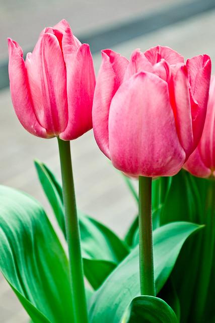"""105/365 - April 15, 2011 - Two """"Lips"""""""