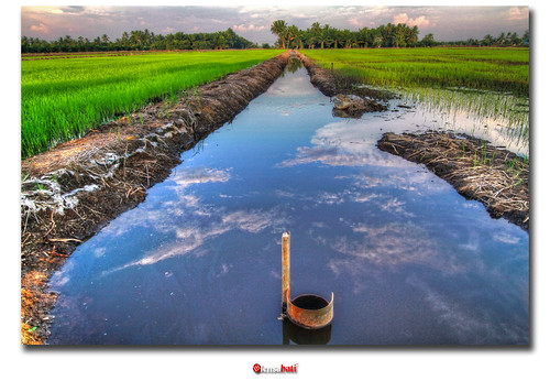 the sawah