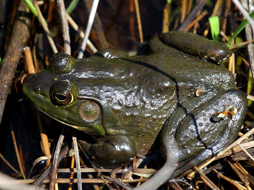 American Bullfrog by Mr.TinDC, on Flickr