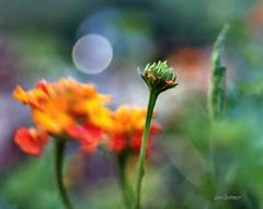Lantana (Anne Worner) Tags: blur flower lensbaby bokeh bud lantana composer wefi bestcapturesaoi fleursetpaysages sweet35