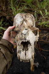 Black Bear Skull Photo