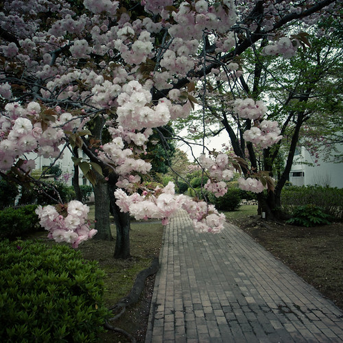 Cherry Blossom and Brick Pathway