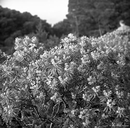 Euphorbia arborea