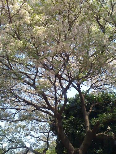 桐花樹。開花了。